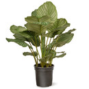 Online Designer Kitchen Calathea Floor Plant in Pot by National Tree Co.