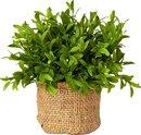Online Designer Studio French Market Myrtle Plant in Burlap Pot