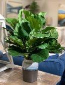 Online Designer Bedroom Fiddle Leaf Fig Foliage Plant in Pot