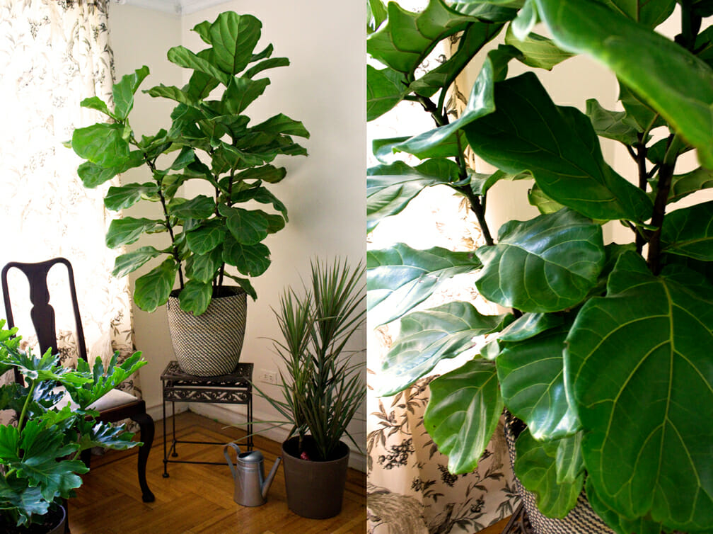 Fiddle-Leaf-Fig-MA-white