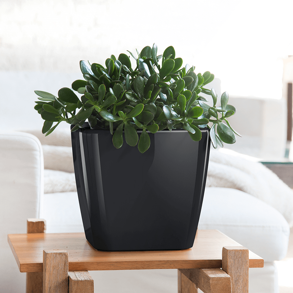low maintenance houseplants jade plant