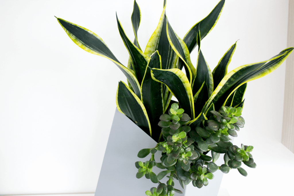 low maintenance houseplants snake plant