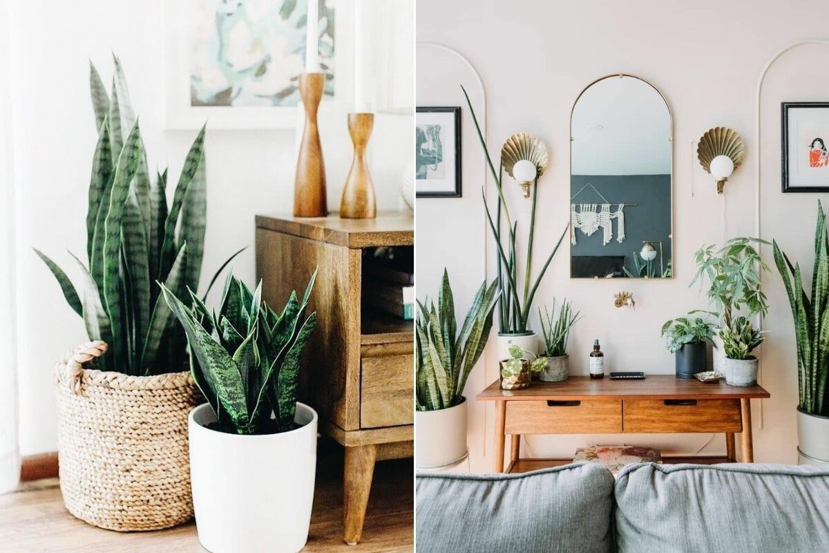 Interior plant design - snake plants